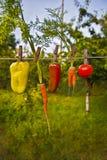 Groenten in de zomertuin Stock Foto's