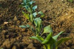 Groenten in ons landbouwbedrijf tijdens zonsopgang stock afbeelding