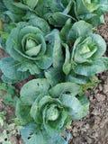 Groenten organisch landbouwbedrijf Stock Foto