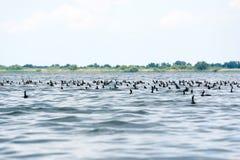Groep aalscholvers phalacrocorax carbo in het water Royalty-vrije Stock Foto's