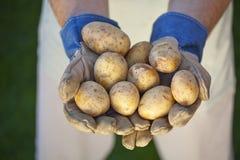 Groep aardappels in landbouwershand Royalty-vrije Stock Afbeelding