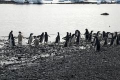 Groep adeliepinguïn bij water` s rand Royalty-vrije Stock Fotografie