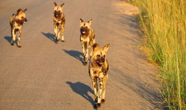 Groep Afrikaanse Wilde Honden Stock Fotografie