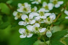 "Groep allegheniensis van Allegheny Blackberry †""Rubus stock afbeeldingen"