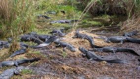 Groep Amerikaanse Alligators Stock Afbeeldingen