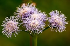 Groep Andes violette mistflowers royalty-vrije stock fotografie
