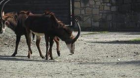 Groep antilopen stock videobeelden