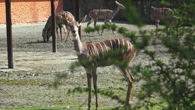 Groep antilopen stock video
