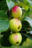 Groep appelen Pinova Stock Foto's