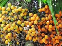 Groep Areca noot, Areca nootpalm die, Areca palm, op zijn t hangen stock foto's