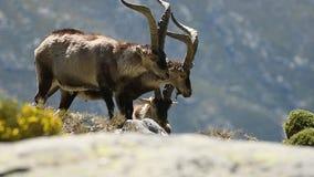 Groep bergmannetjes in de Siërra DE Gredos stock videobeelden