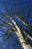 Groep berk/berken met witte boomstam op een blauwe hemel stock afbeelding