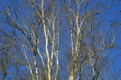 Groep berk/berken met witte boomstam op een blauwe hemel royalty-vrije stock fotografie