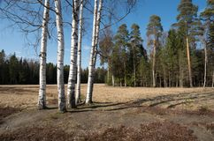 Groep berken op een weide in de lente tegen het pijnboomhout Royalty-vrije Stock Afbeeldingen