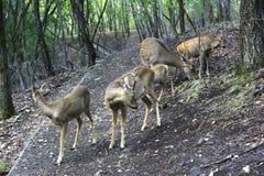 Groep bevlekte herten Stock Foto