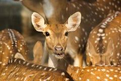 Groep Bevlekte Indische herten royalty-vrije stock foto's