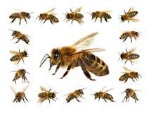 Groep bij of honingbij in de Latijnse westelijke die honingbijen van Apis Mellifera, Europees of op de witte gouden achtergrond w stock foto's