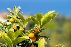 Groep bijna rijpe loquatsvruchten op de boom onder de bladeren in de blauwe hemel als achtergrond royalty-vrije stock foto