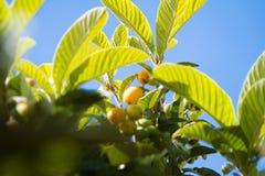 Groep bijna rijpe loquatsvruchten op de boom onder de bladeren in de blauwe hemel als achtergrond royalty-vrije stock afbeelding