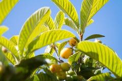 Groep bijna rijpe loquatsvruchten op de boom onder de bladeren in de blauwe hemel als achtergrond stock fotografie