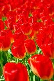 Groep bloeiende rode tulpen van hierboven in close-up Stock Afbeeldingen