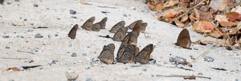 Groep Bruine Vlinder Stock Foto's