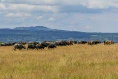 Groep buffels en koeien op het groene gebied Stock Afbeelding