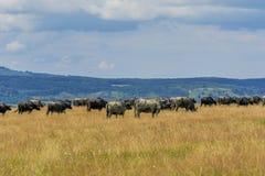 Groep buffels en koeien op het groene gebied Royalty-vrije Stock Foto