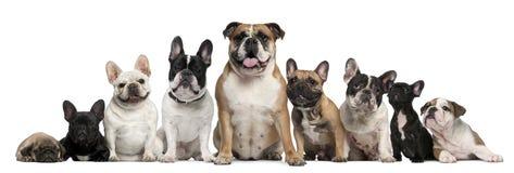 Groep Buldoggen en één Pug voor wit Royalty-vrije Stock Foto's