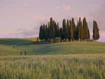 Groep cipresbomen bij zonsondergang Royalty-vrije Stock Afbeelding