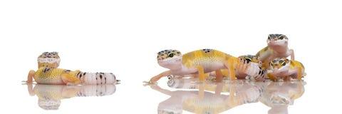 Groep de Jonge gekko van de Luipaard - macular Eublepharis Stock Fotografie