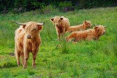 Groep de koeien van het Hoogland Royalty-vrije Stock Fotografie