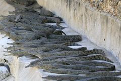 Groep de krokodilbabys van Nijl, Crocodylus-niloticus, die onder de zon rusten stock foto
