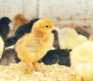 Groep de Kuikens van de Baby op het Landbouwbedrijf van de Kip royalty-vrije stock afbeeldingen