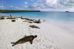 Groep de zeeleeuwen die van de Galapagos op zandig strand in Gardner Bay, Espanola-Eiland, het Nationale park van de Galapagos, E stock foto