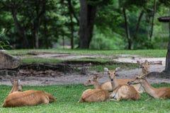 Groep de zitting van antilopeherten op het gras royalty-vrije stock foto's