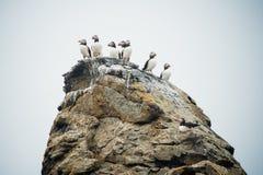 Groep die Atlantische of gemeenschappelijke papegaaiduikers op de rots in IJsland zitten royalty-vrije stock fotografie