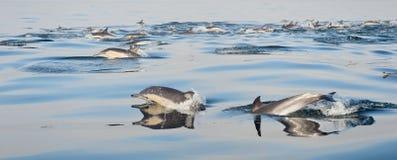 Groep die dolfijnen, in de oceaan zwemmen Stock Afbeeldingen
