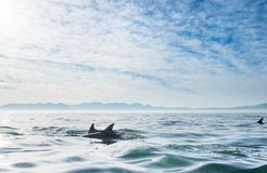 Groep die dolfijnen, in de oceaan zwemmen Stock Foto's