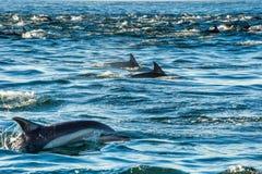 Groep die dolfijnen, in de oceaan zwemmen Royalty-vrije Stock Foto's