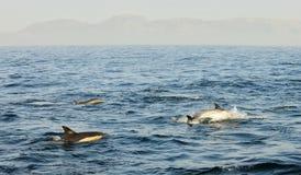 Groep die dolfijnen, in de oceaan zwemmen en voor vissen jagen Royalty-vrije Stock Foto's