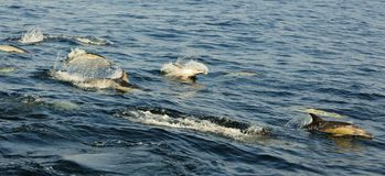 Groep die dolfijnen, in de oceaan zwemmen en voor vissen jagen Royalty-vrije Stock Foto