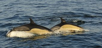 Groep die dolfijnen, in de oceaan zwemmen en voor vissen jagen Stock Foto