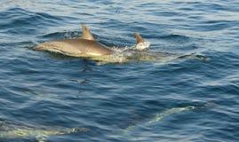 Groep die dolfijnen, in de oceaan zwemmen en voor vissen jagen Stock Afbeeldingen