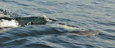 Groep die dolfijnen, in de oceaan zwemmen en voor vissen jagen Royalty-vrije Stock Fotografie