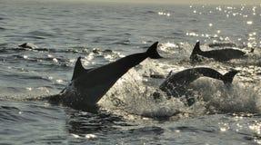 Groep die dolfijnen, in de oceaan zwemmen en voor vissen jagen Stock Fotografie