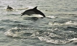 Groep die dolfijnen, in de oceaan zwemmen en voor vissen jagen Stock Afbeelding