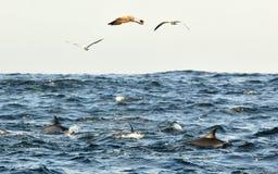 Groep die dolfijnen, in de oceaan zwemmen en voor vissen jagen Royalty-vrije Stock Afbeeldingen