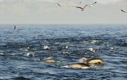 Groep die dolfijnen, in de oceaan zwemmen en voor vissen jagen De het springen dolfijnen komt omhoog uit water Long-beaked gemeen Royalty-vrije Stock Foto