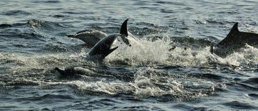 Groep die dolfijnen, in de oceaan zwemmen en voor vissen jagen De het springen dolfijnen komt omhoog uit water Long-beaked gemeen Royalty-vrije Stock Afbeeldingen